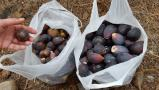 Figues sauvages! [062]